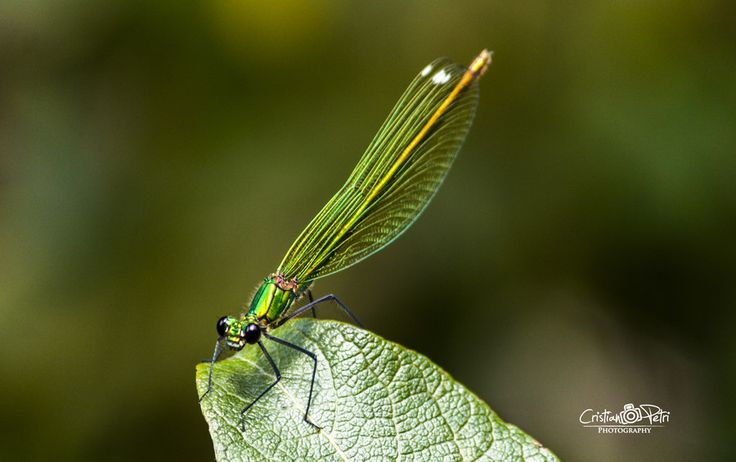Green dragonfly by Cristian Petri on 500px