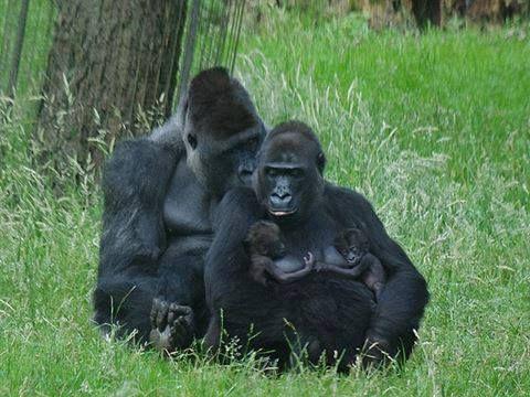 Les jumeaux gorilles aussi peuvent téter. #aide_allaitement