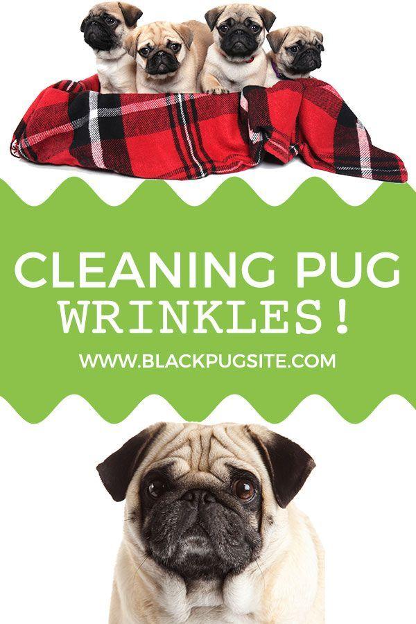 Pin By Black Pug Lover On Pug Care Tips Pugs Wrinkle Dogs Pug