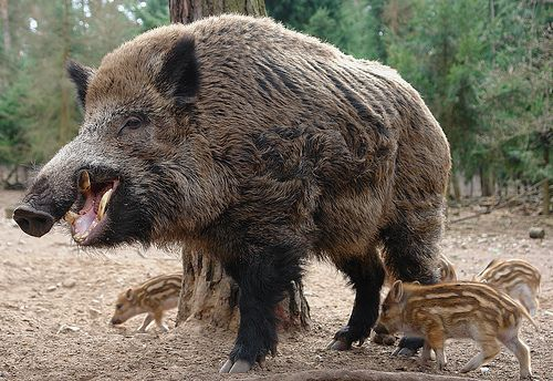 Different Breeds of Wild Hogs   texas natural wildlife distinguishing feral hogs from introduced wild ...