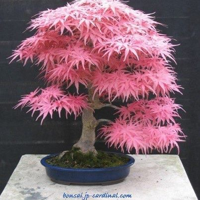 LOVE this - might not flower but I'd give anything to get mine to this stage -Japanese maple bonsai