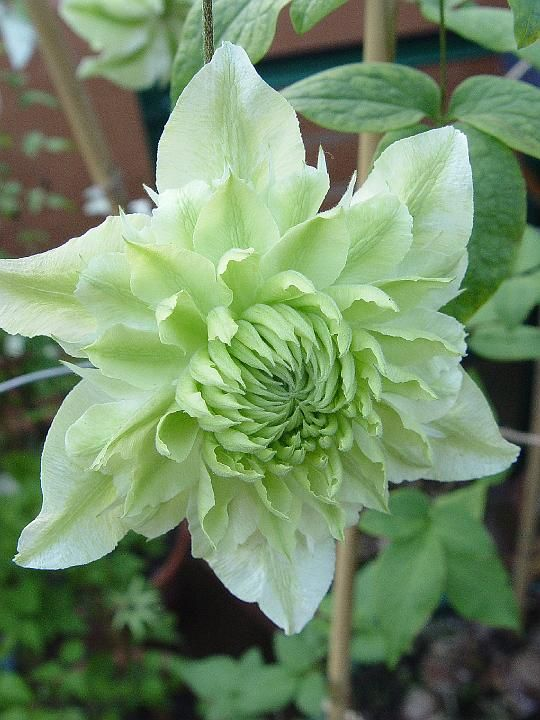 Clematis florida Flore Pleno. The Clematis is available in so many colors...Would love to plant them all!