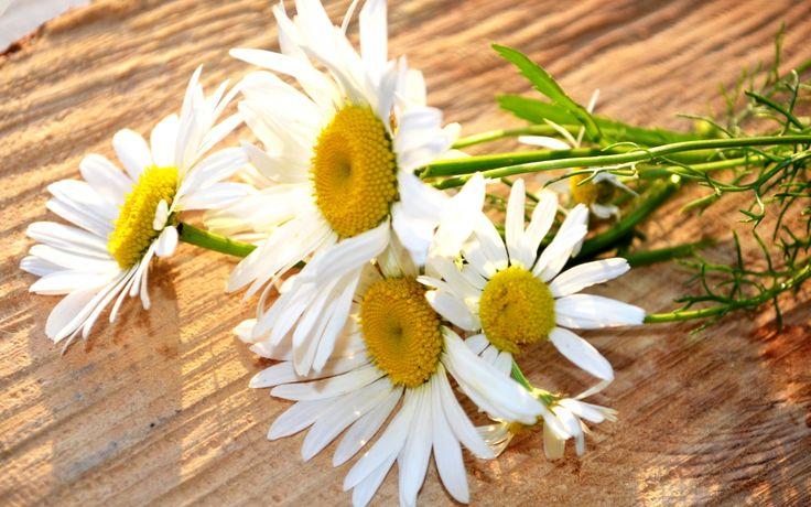 Скачать обои цветки, солнце, ромашки, стебли, белые, раздел цветы в разрешении 1920x1200