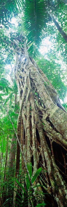 """""""Strangler Fig"""" Yidney Scrub, Fraser Island"""