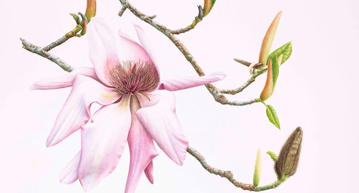 Magnolia campbellii from the exhibitibion of paintings by Barbara Oozeerally