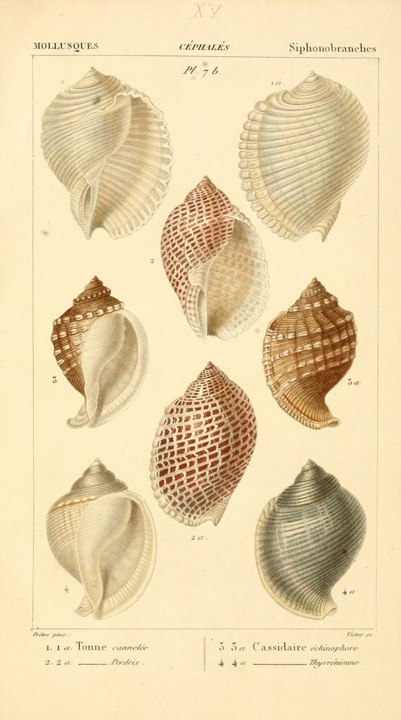 Black or Dk brown frame Malacozoaires, ou, Animaux mollusques A Paris :Chez F.-G. Levrault,[1828?-1830?] biodiversitylibrary.org/page/24432366