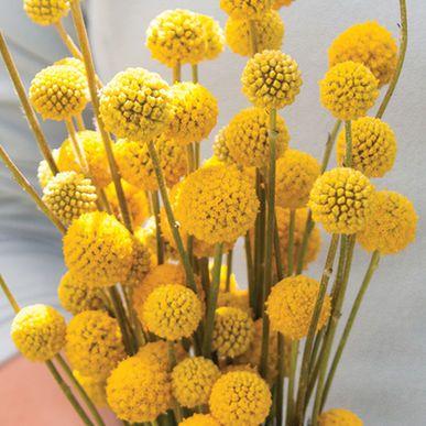 Sun Ball - Organic Craspedia Seed | Johnny's Selected Seeds