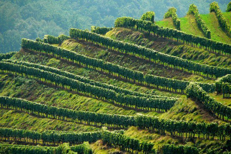 Implanté dans les collines du pays basque par les moines de Roncevaux au XIIe siècle, le vignoble d'Irouléguy, plus petit AOC de France, s'étend sur 240 hectares de vigne disposés en terrasse sur un relief pentu. L?appellation Irouléguy concerne une quinzaine de communes autour de Saint-Jean-Pied-de-Port.  Pays basque : Vignoble d'Irouleguy