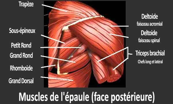 les muscles de l'épaule sur sa face postérieure