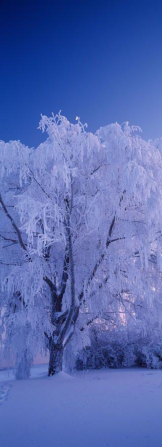 Tree covered with snow, Imatra, South Karelia, Finland