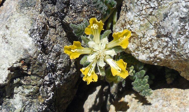 Flora Cresta Cerro Catedral Bariloche.Argentina