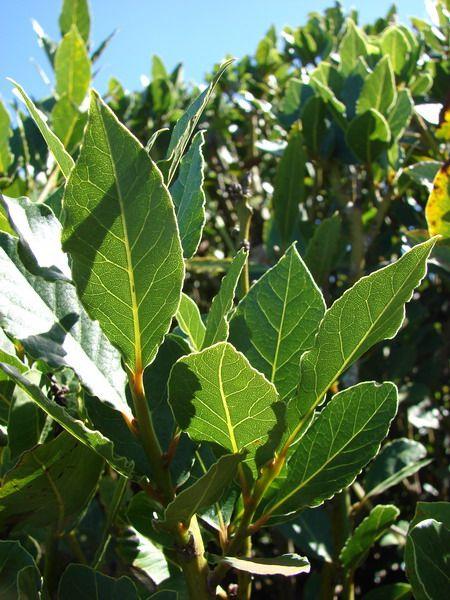 Лавр благородный — выращиваем лавровый лист. Лавр благородный — невысокое вечнозеленое дерево семейства лавровых до 8-10 м высотой, но может быть и древо видным кустарником. Иногда в лесах встречаются деревья до 18 м высотой. Фото: © Forest & Kim Starr