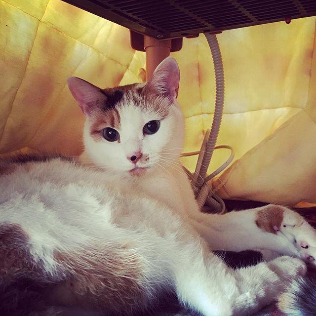 猫コタツの中。 グルーミング中に話しかけたから お尻のあたりがぐしゃぐしゃ(笑) #電源は入れてない #猫コタツ #ここがあるから一緒に寝てくれない #ねこ #猫 #ネコ #にゃんこ #猫好き #ねこら部 #猫バカ #ふわもこ部 #三毛猫 #ねこ部 #にゃんすたぐらむ #にゃんだふるらいふ #我が家の天使 #猫のいる暮らし#愛猫 #もふもふ