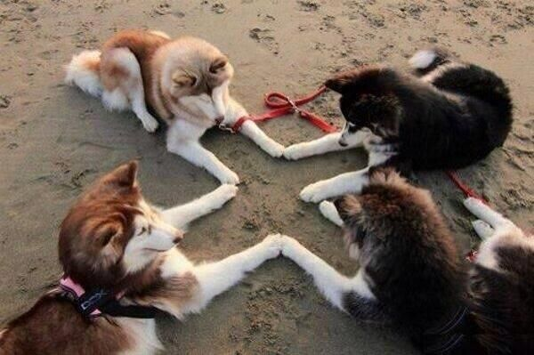 Reminds me of my babies when I was growing up had 2 black and white and 2 red and white huskies.  Miss them so much!
