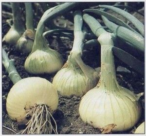 Growing Onions in the Garden