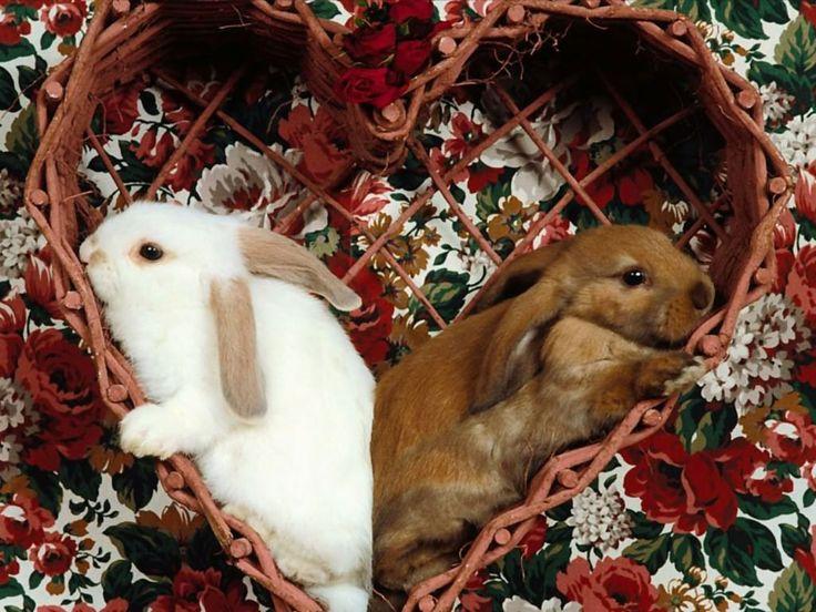 rabbit-wallpaper-6