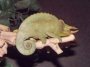 Jackson's Chameleon, Chameleo jacksonii (male), Three-horned Chameleon, subspecies Dwarf Jackson's Chameleon, and Yellow-crested Jackson's Chameleon