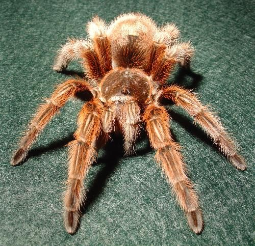CHILEAN ROSE TARANTULA aka Chilean Flame | My Other Loves ...