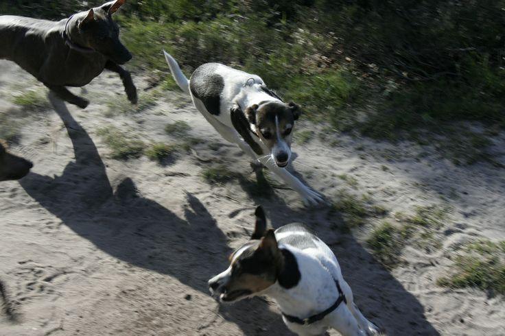 Chasing dogs - Hoorneboegse Heide, Hilversum, The Netherlands