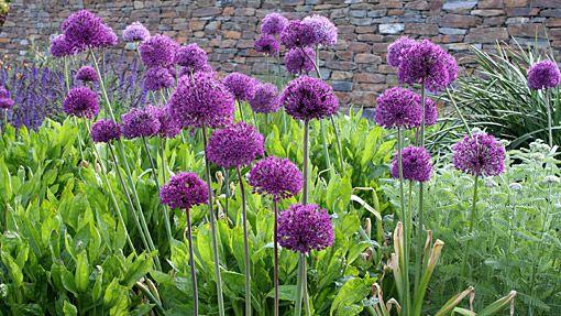 allium hollandicum 39 purple sensation 39 allium pinterest. Black Bedroom Furniture Sets. Home Design Ideas