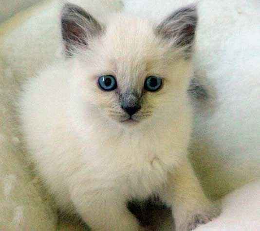 Orecatay Traditional Siamese and Balinese Cattery - See more stunning Cat Breeds at Catsincare.com!