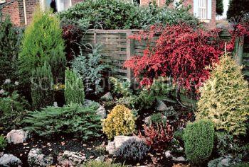 Dwarf conifers in garden