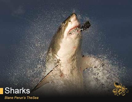 Great White Shark Diet - http://www.withinthesea.com/reef-fish/sharks/great-white-shark-diet/