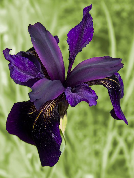 Black Iris (Iris chrysographes). Again, not one my Beardies, but the color is gorgeous!