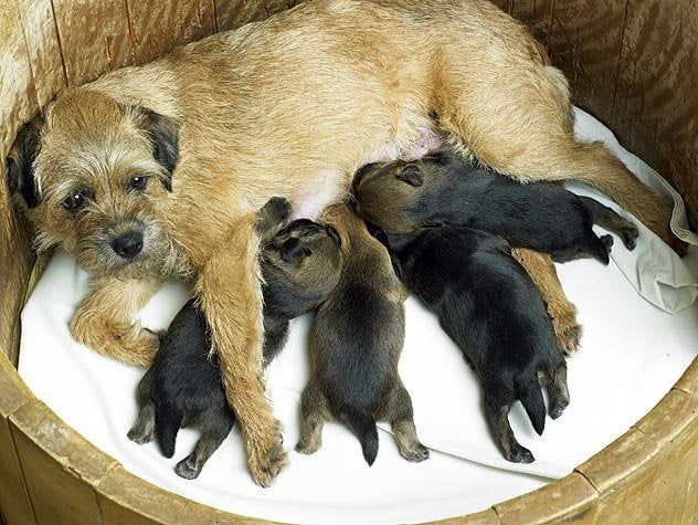 Pippa And Woody Border Terrier Brown Dog Little Dogs