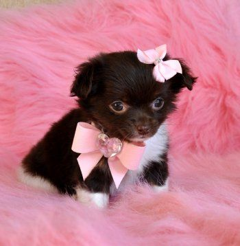 this cutie in her cute bows completely makes me rethink wanting a boy dog... I could not put him in cute bows on a fluffy pink rug!