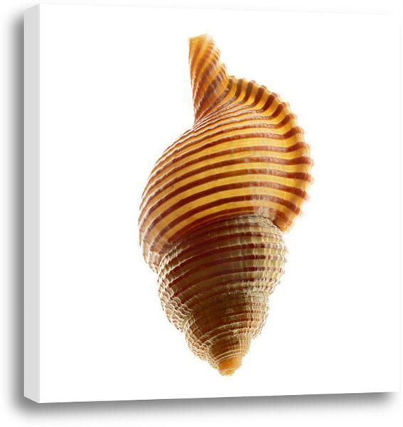 Picture of Linatella Succinta. #coastal #beach #beachhouse #wallart #homedecor #beachdecor #shells
