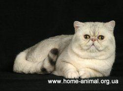 Персидские кошки: виды и типы