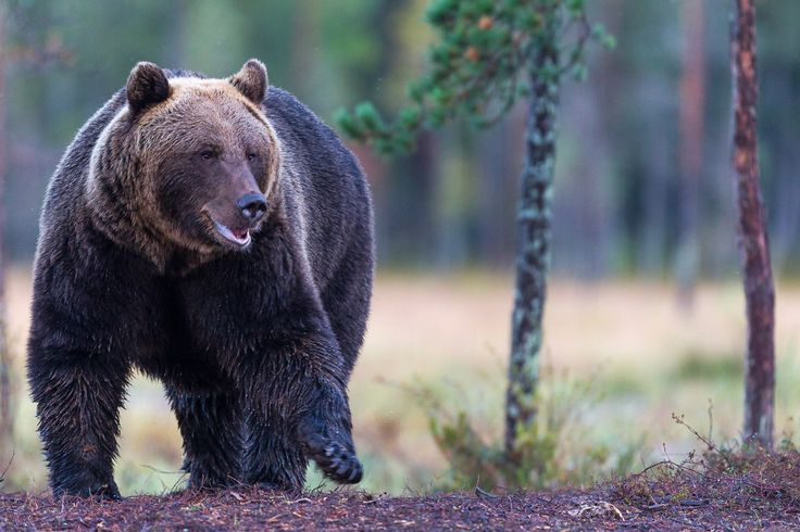 Photographing Brown Bears at the border of Finland and Russia.