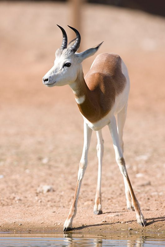 A young Gazella dama.  The gazella dama, (also called Nanger dama, addra gazelle, ormhorr gazelle)lives inAfricain the Sahara desertand theSahel. Thiscritically endangered species has disappeared from most of its former range and natural populations only remain inChad,Mali, andNiger.