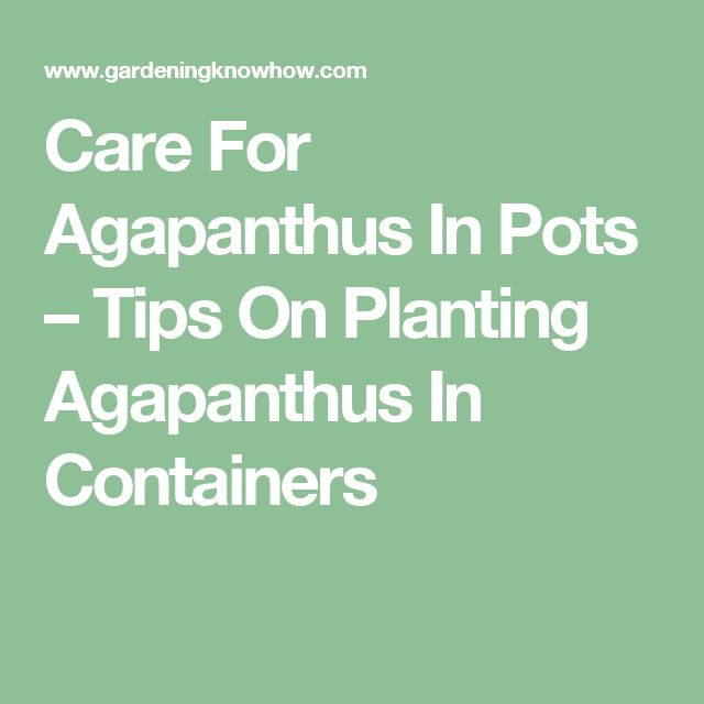 Care For Agapanthus In Pots – Tips On Planting Agapanthus In Containers