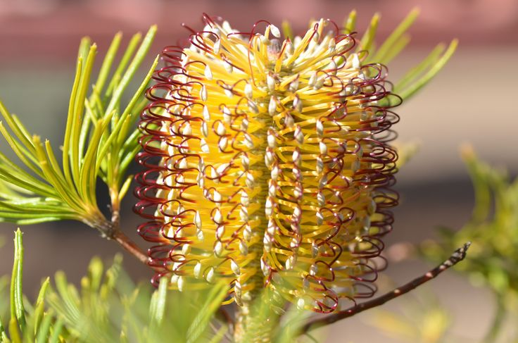 Banksia 'Cherry Candles'
