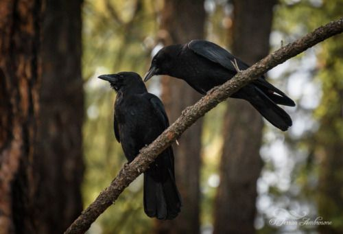 """Whisper of the Crow"". Sharing secrets… http://www.terranambrosone.com/Birds/i-f5DmhdT 28 seconds ago Tagged: #crow #crows #birds #black #westkootenays #bc #Canada #wildlife #nature"