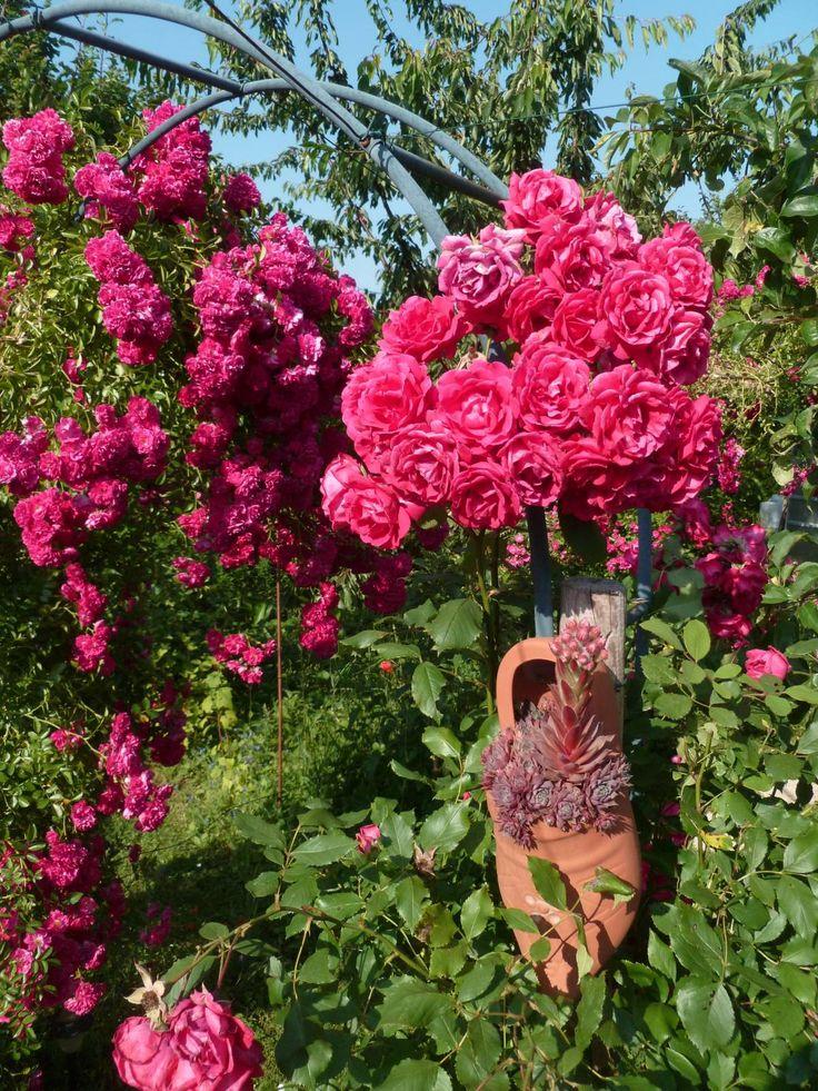 Éclat de roses