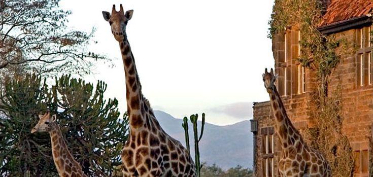 Walking with Giraffes Giraffe Manor