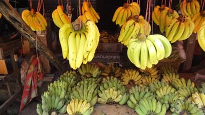 Banana Gros Michel directly from Colombia