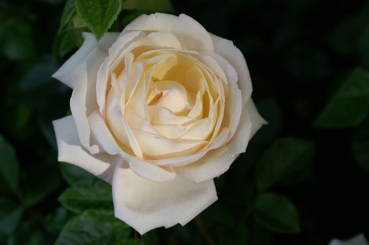 A 'name your own' white rose, for remembrance, Birthday, Anniversary or Wedding..