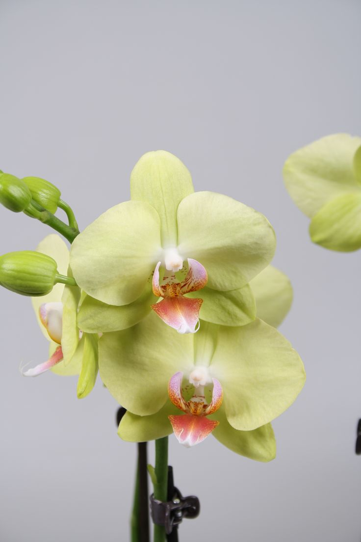 Alice Adventures Phalaenopsis 'Green Crystal' Aloe Orchid www.aspenyogamats.com