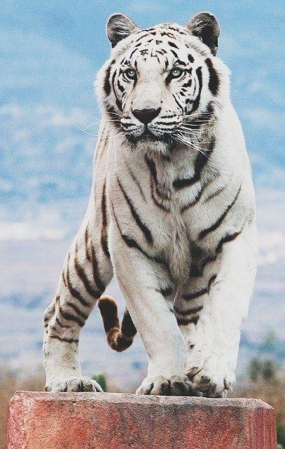 Tigre Branco                                                                                                                                                                                 Mais