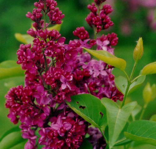 62 best syringas images on pinterest lilac bushes lilac - Syringa vulgaris ...