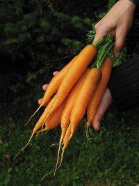 Yaya grown as baby/mini carrots