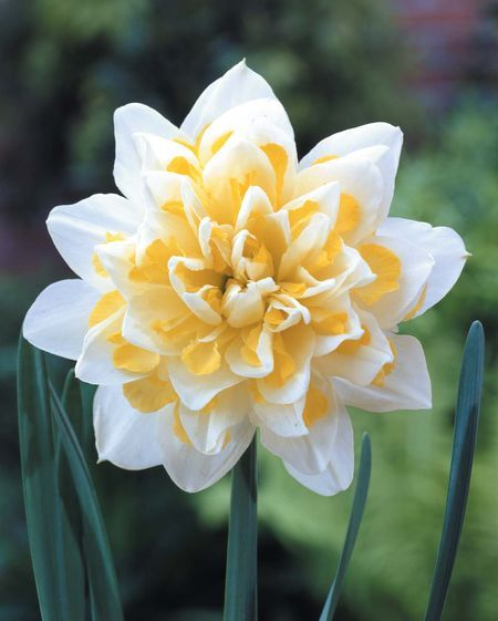 Narcissus Double Narcissus 'Irene Copeland'  Daffodils Double-Flowering