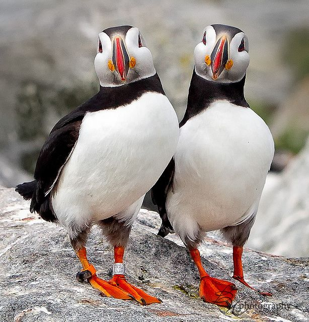 Solemates...bet you can't beat the color of our webs...Puffin Birds - Machias Seal Island, Maine