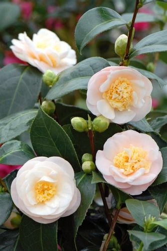 Camellia japonica subsp Rusticana 'Botanyuki' (Japan, 1958)