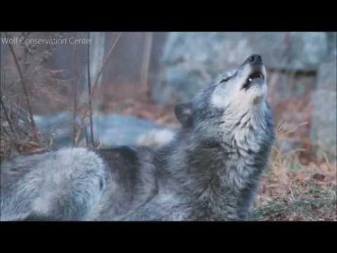 Elke stem die ter ondersteuning van wilde dieren en wilde plaatsen kan een verschil maken. En als we allemaal samen te werken kunnen we grote dingen gebeuren. Gehuil van dank!
