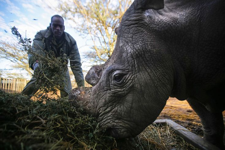 Nearly wiped out by poachers and a highly lucrative rhino horn black market, the Northern White Rhino is on the brink of extinction – Sudan, a rhino at the Ol